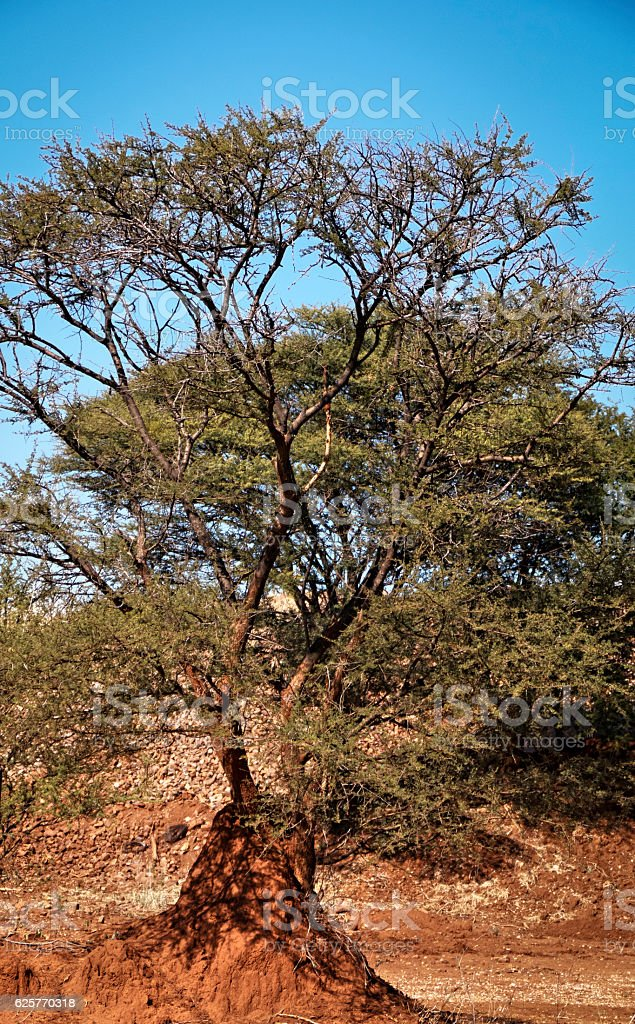 Sherpherd's tree growing on termite mound,South Africa stock photo
