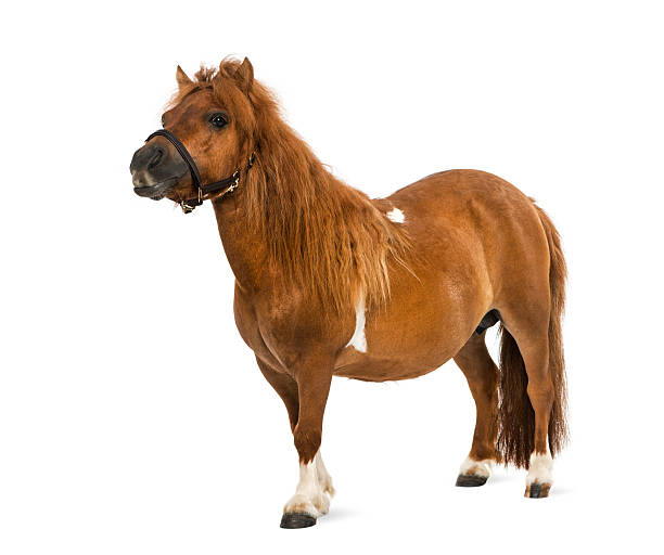 shetland - 9 years old shetland - 9 years old pony stock pictures, royalty-free photos & images