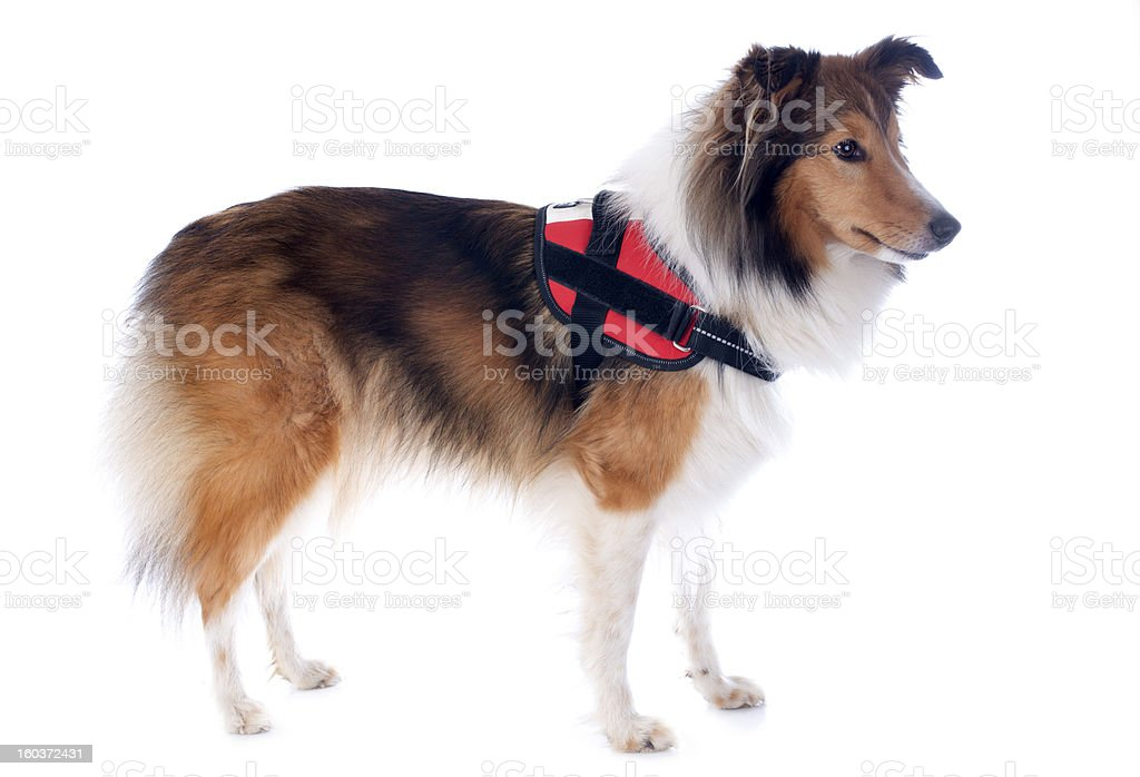shetland dog and harness royalty-free stock photo