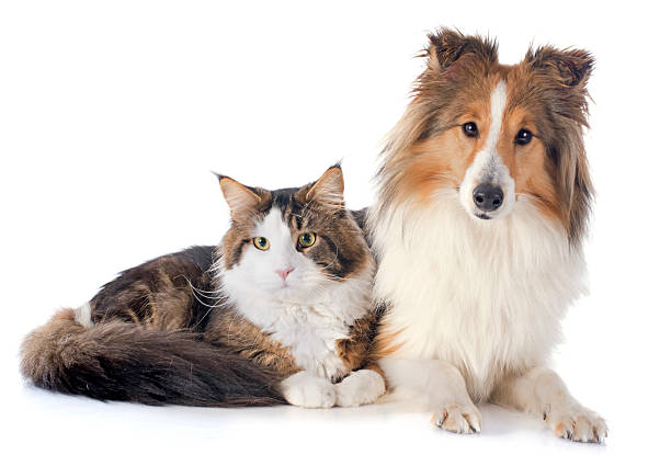 Shetland dog ans maine coon cat picture id466199473?b=1&k=6&m=466199473&s=612x612&w=0&h=2mupgydus4ah7xy8puaenefoq9 sg t3nw6gnhtecoc=