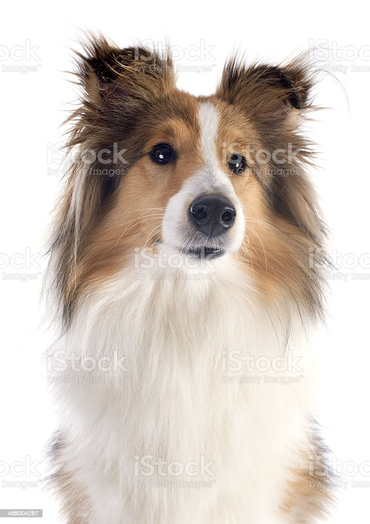 shetland dog royalty-free stock photo