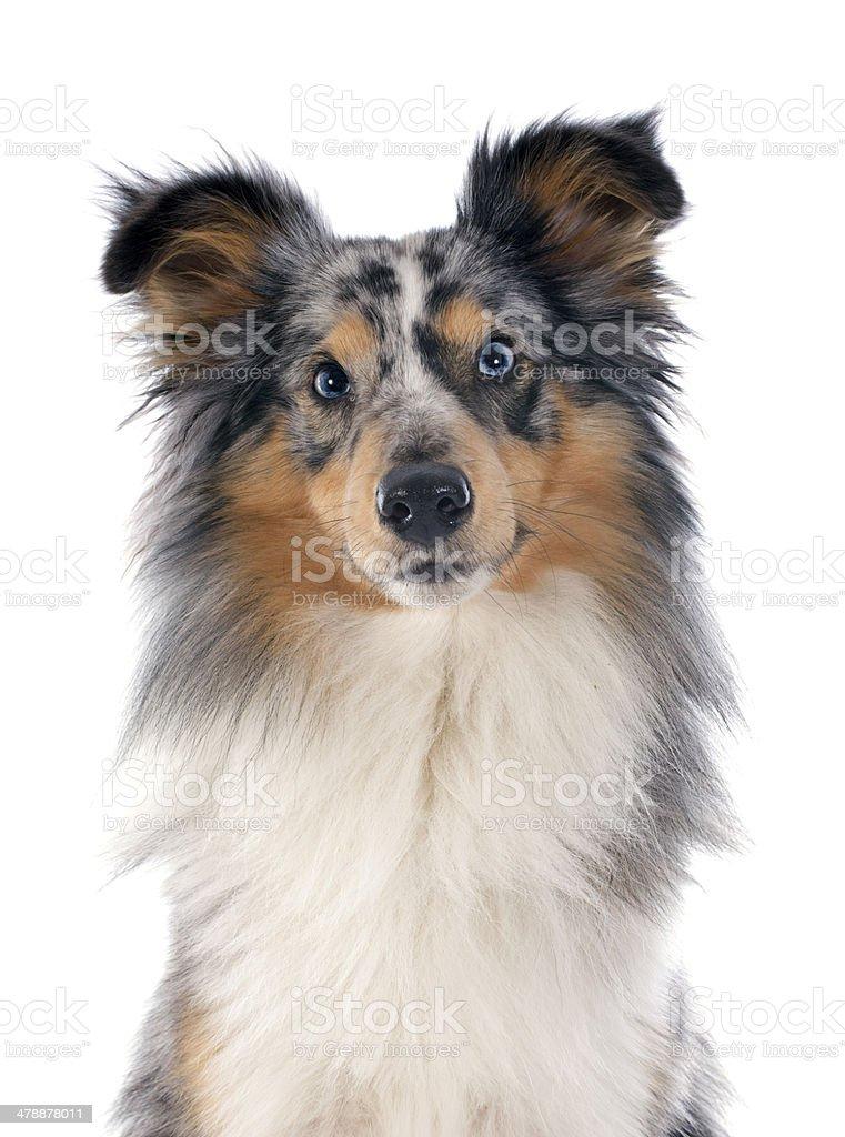 shetland dog stock photo