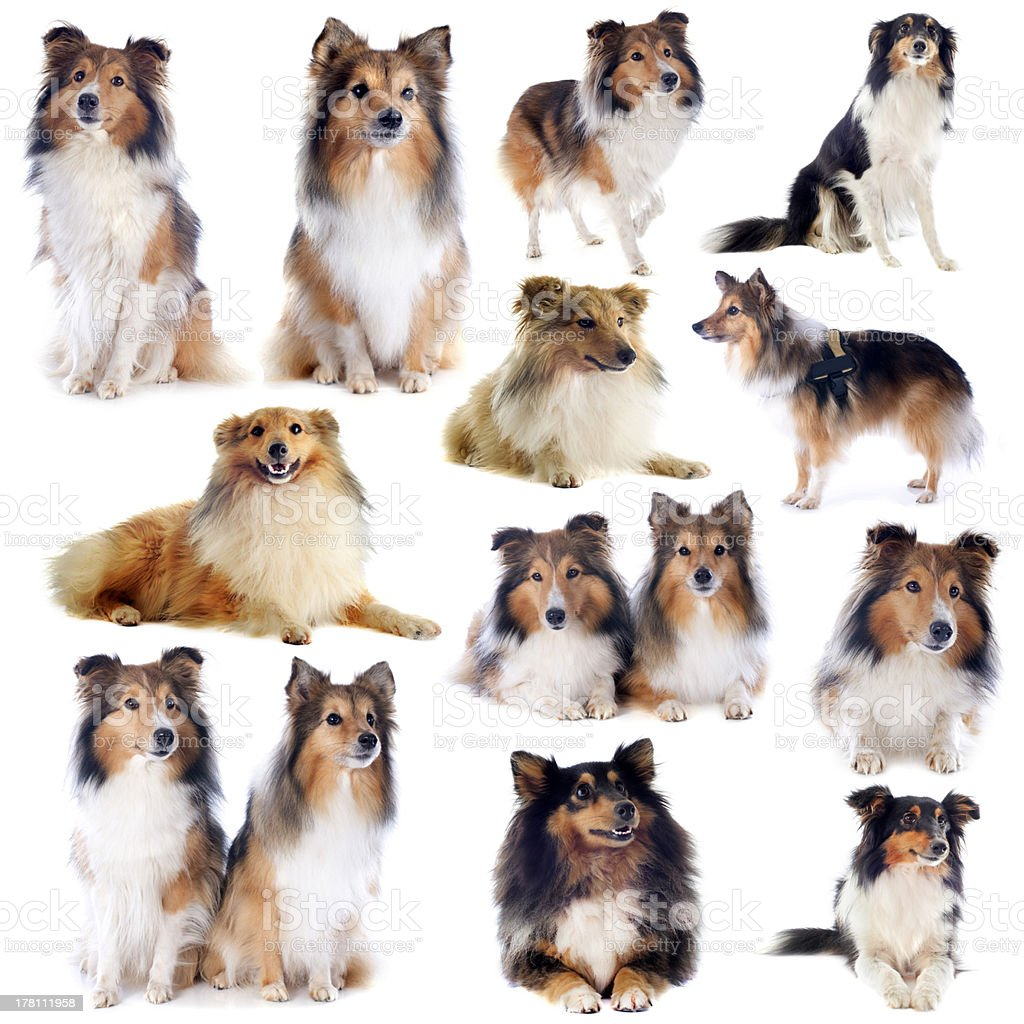 shetland dogs royalty-free stock photo