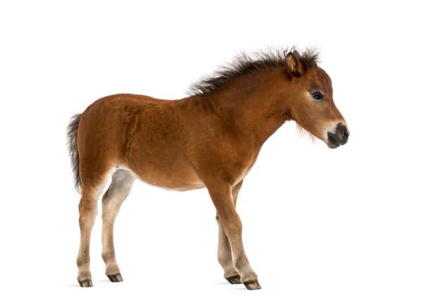 Shetland foal 1 month old picture id1069594232?b=1&k=6&m=1069594232&s=612x612&w=0&h=2p6t1z8rx7gm9kmto0dgmdrkohbm93nn95jhjasb5lu=
