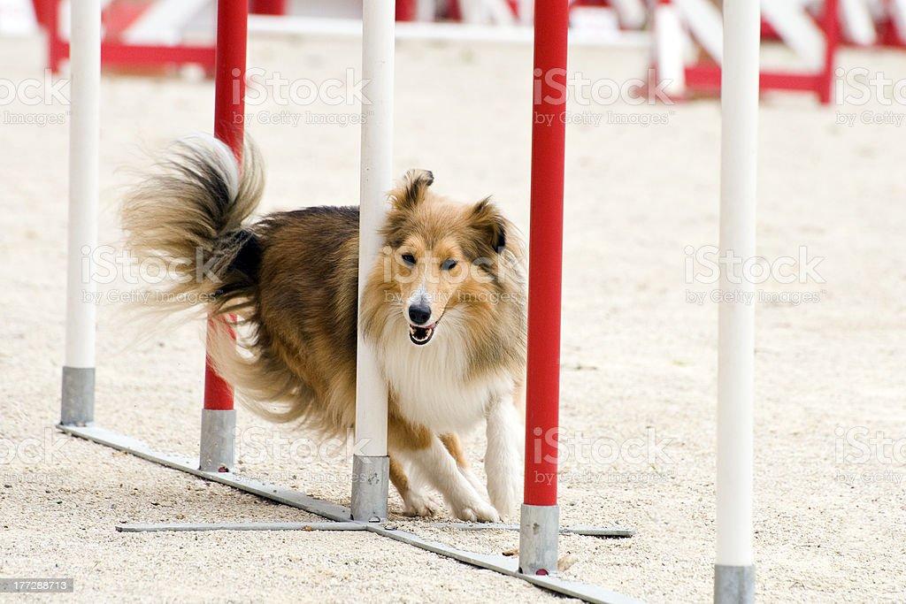 shetland in agility stock photo