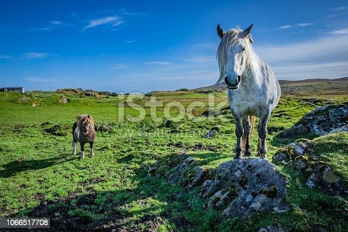 istock Shetland pony at Scotland, Shetland Islands 1066517708