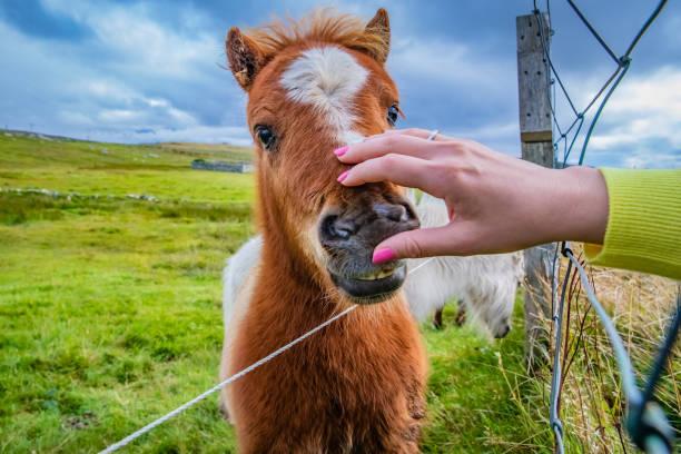 Shetland pony at scotland shetland islands picture id1066569504?b=1&k=6&m=1066569504&s=612x612&w=0&h=cogojbeohoguoquxhmfkrxdqjva45zigexsv1hv8zd8=