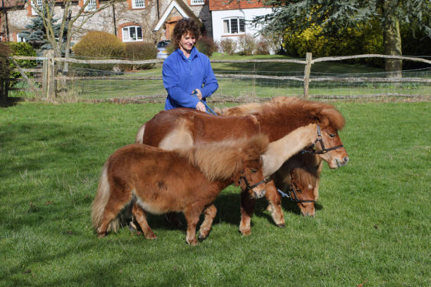 shetland pony grazing in paddock on bridle - whiteway pony stock photos and pictures