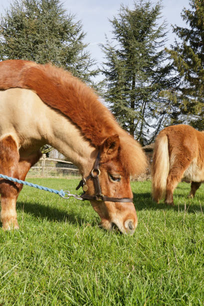 shetland pony grzing in paddock profile - whiteway pony stock photos and pictures