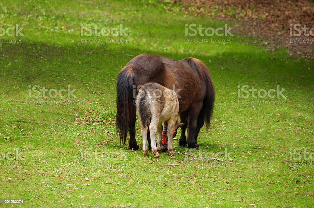 Shetland Pony horse - mother and foal from behind stock photo