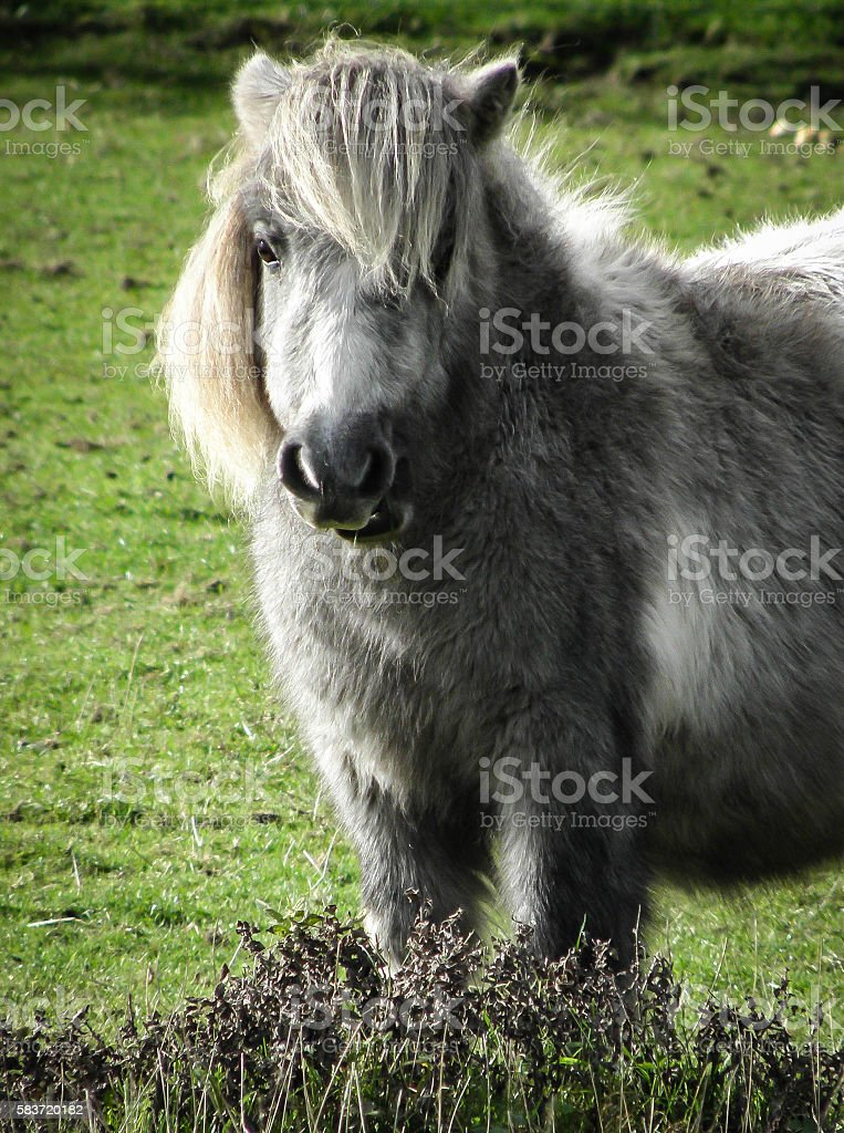 shetland pony in the new forest hampshire ストックフォト 写真素材