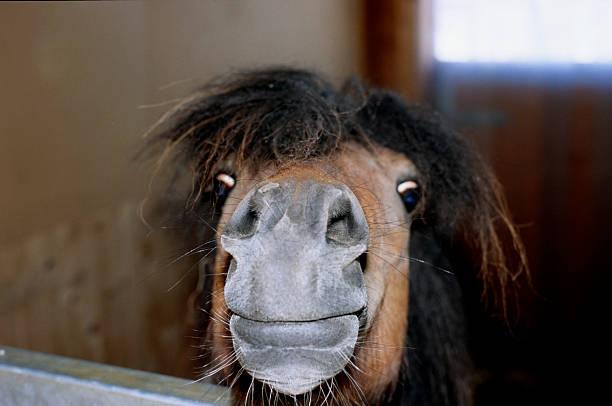 shetlandpony lucky und wissbegierig - lustige pferde stock-fotos und bilder