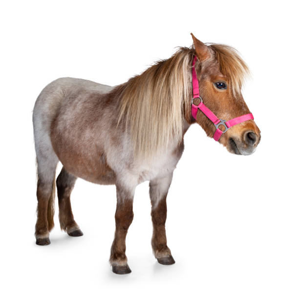 Shetland pony on white background Brown with white Shetland pony, standing side ways. Looking straight ahead. Isolated on a white background. pony stock pictures, royalty-free photos & images