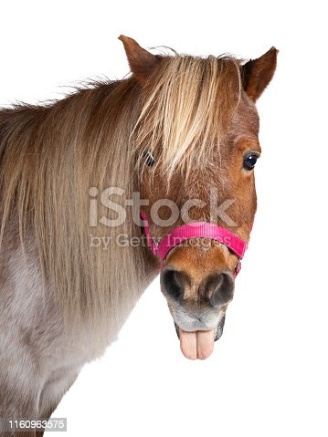 Head shot of brown with white Shetland pony, standing side ways looking at camera and sticking out tongue Isolated on a white background.