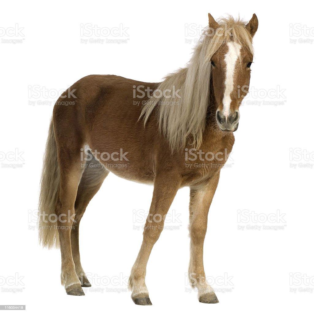 Shetland pony (2 years) stock photo