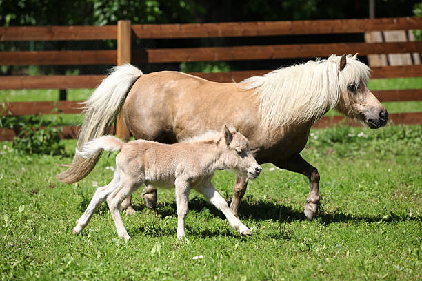 Shetland pony Shetland pony mare with a foal palomino stock pictures, royalty-free photos & images