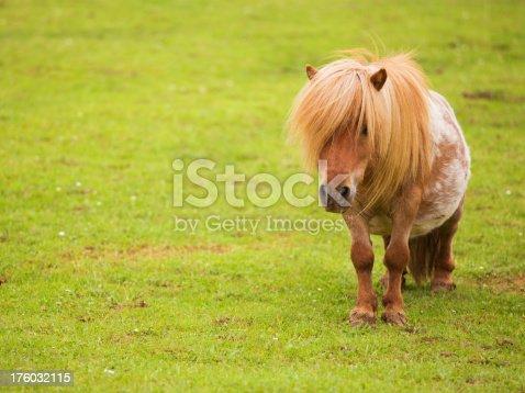 istock Shetland Pony 176032115