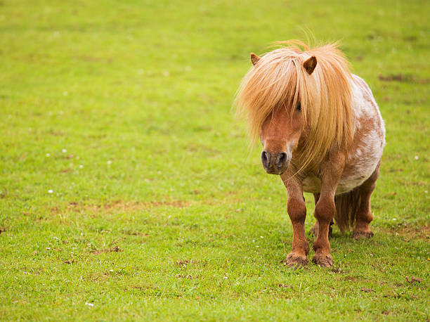 Shetland Pony Shetland Pony grazing pony stock pictures, royalty-free photos & images