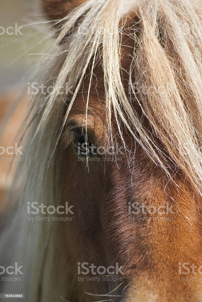 Shetland Pony royalty-free stock photo