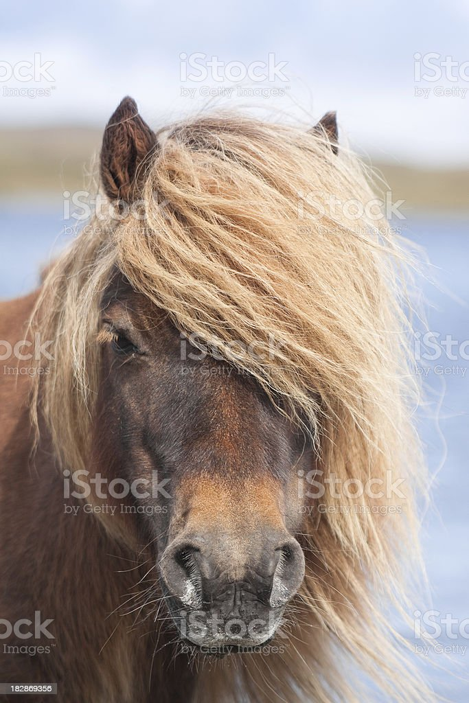 Shetland Pony royalty-free stock photo