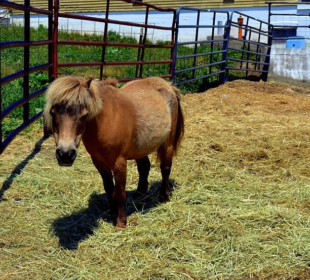 Shetland Pony  – Foto