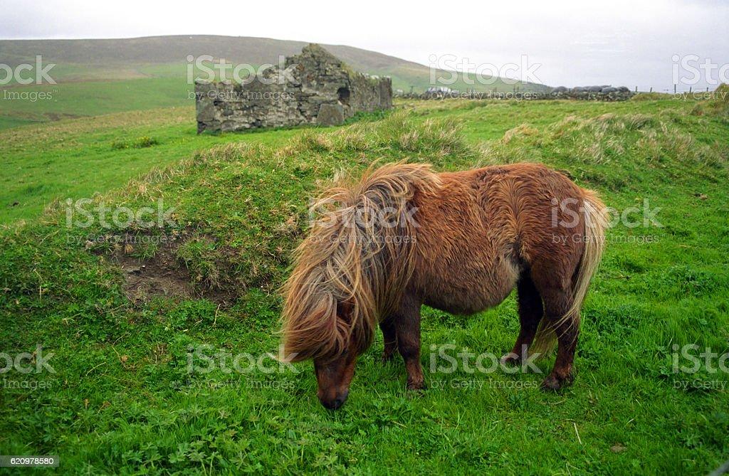Pônei das Ilhas Shetland foto royalty-free