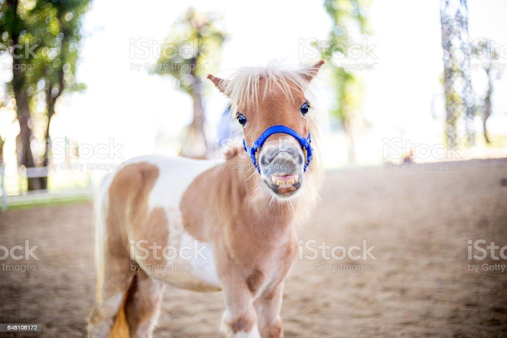 Shetland pony smile face stock photo
