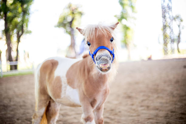 Shetland pony smile face Shetland pony smile face pony stock pictures, royalty-free photos & images