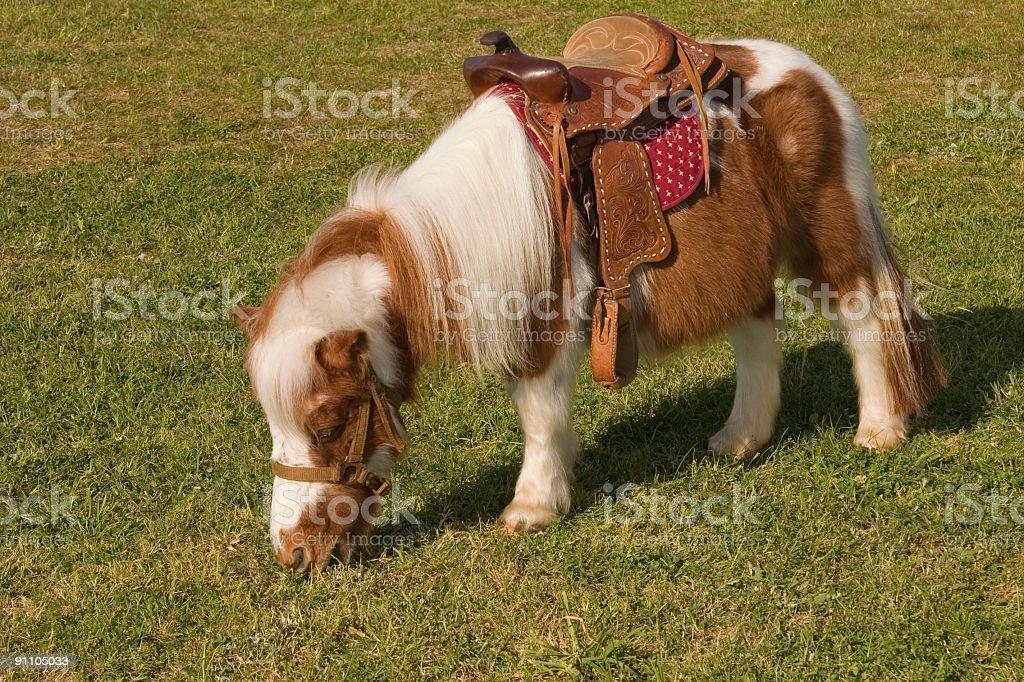 shetland pony with saddle royalty-free stock photo