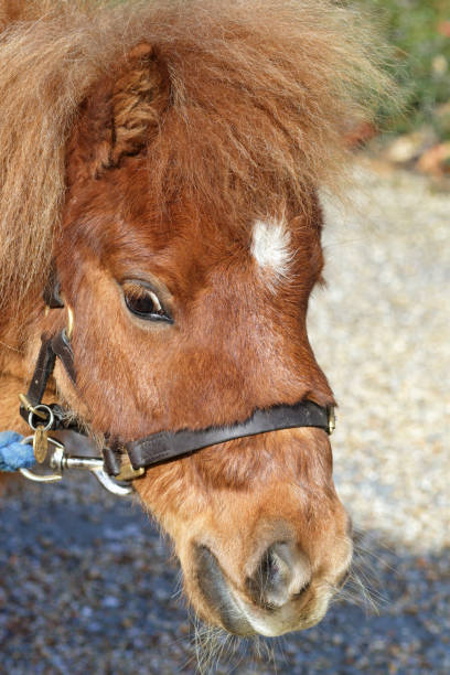 shetland pony with white blaze star head shot - whiteway pony stock photos and pictures