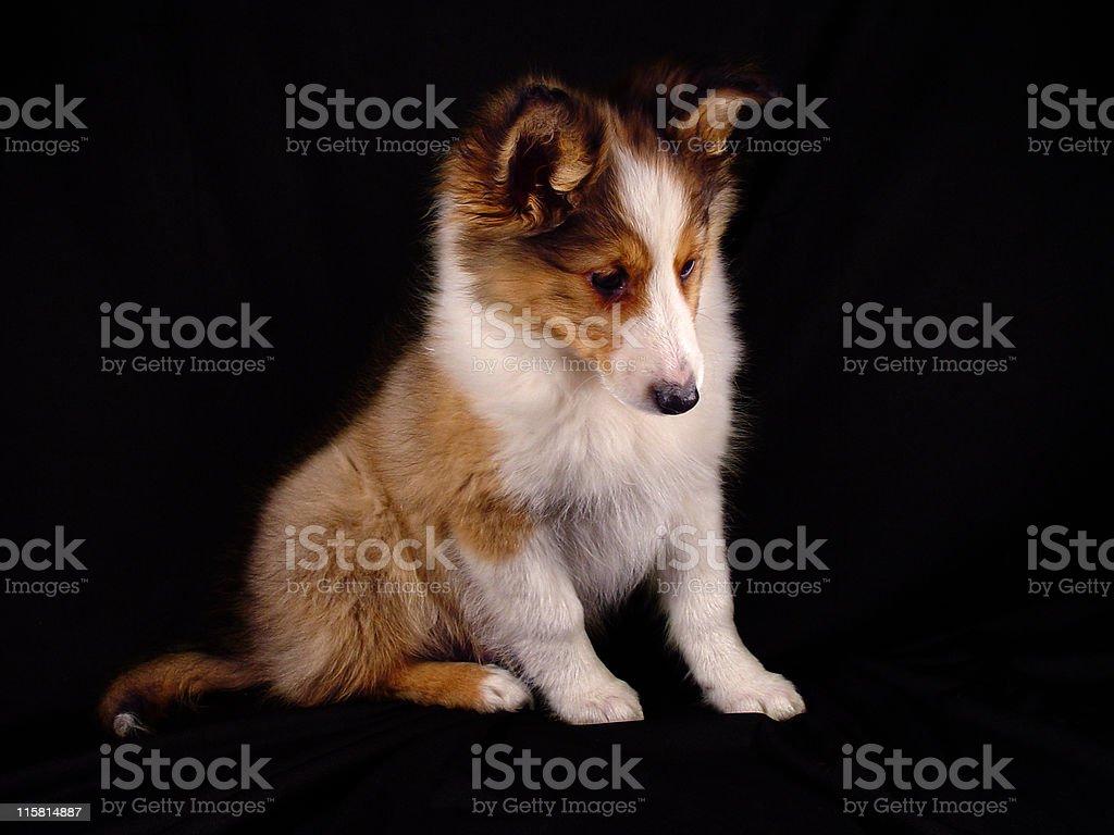 Shetland Puppy royalty-free stock photo