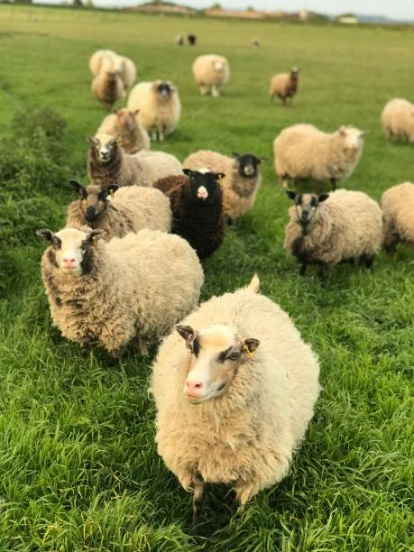 Shetland Sheep Shetland Sheep Waiting for Food flock of sheep stock pictures, royalty-free photos & images