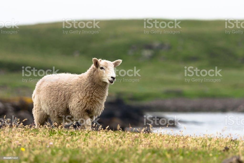Shetland sheep stock photo