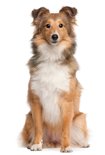 Shetland sheepdog 9 months old sitting white background picture id119650996?b=1&k=6&m=119650996&s=612x612&w=0&h=fmx4dmh 3wtncaqyauayftslaxfzvfrpcdy 6lkh3qg=