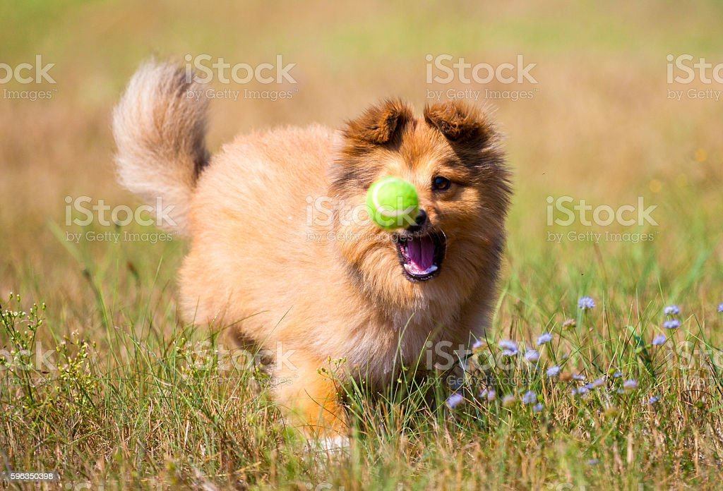 shetland sheepdog catches a ball royalty-free stock photo
