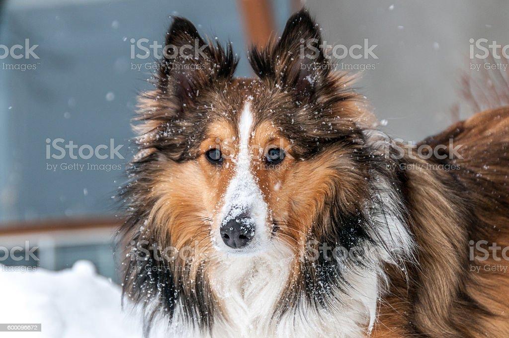 shetland sheepdog closeup in snow stock photo