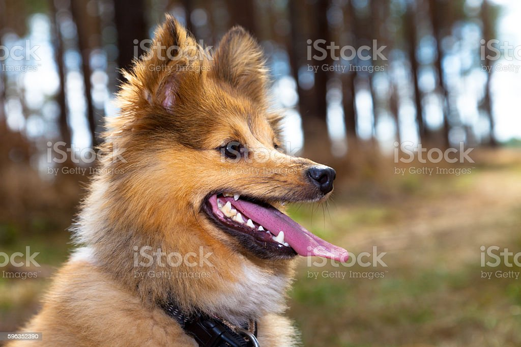 shetland sheepdog head portrait royalty-free stock photo