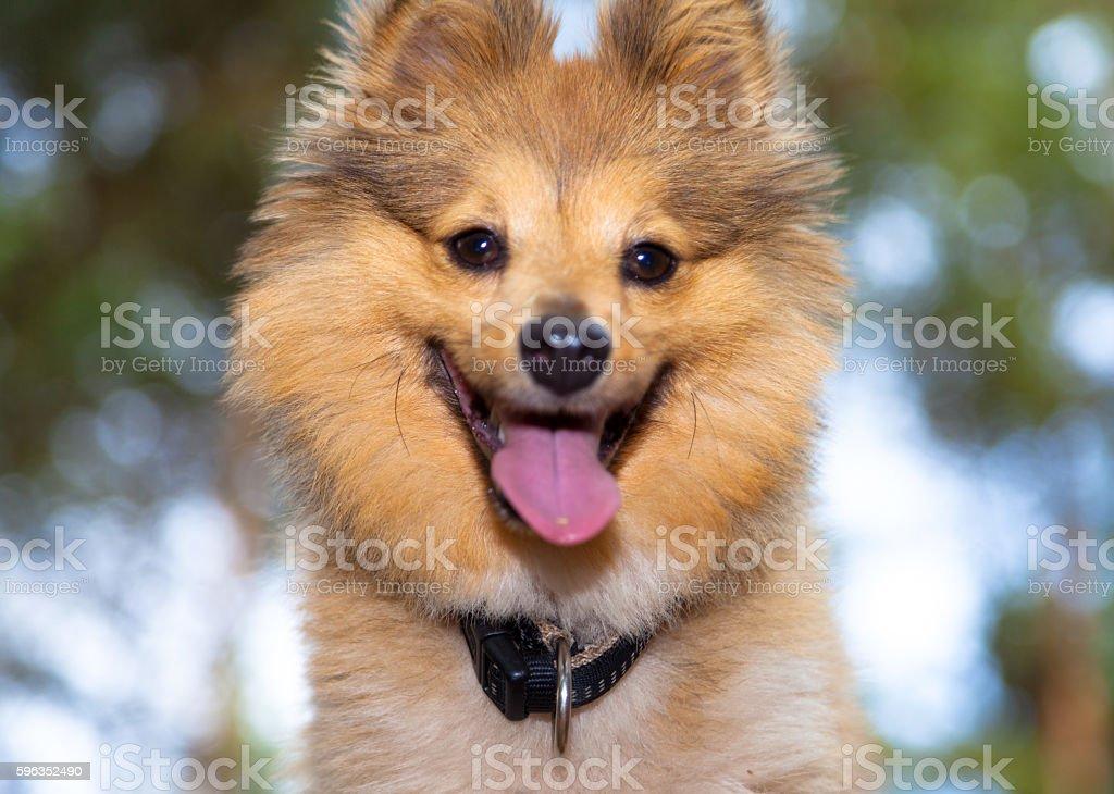shetland sheepdog head portrait royalty-free stock photo