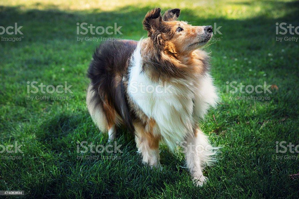 Shetland Sheepdog in the field stock photo