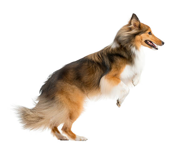 Shetland sheepdog jumping in front of a white background picture id510056648?b=1&k=6&m=510056648&s=612x612&w=0&h=wfmxpg1kpkpamnejzptnkep0coutyxwgqvmrd9insku=
