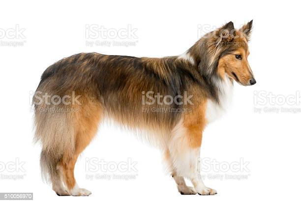 Shetland sheepdog jumping in front of a white background picture id510056970?b=1&k=6&m=510056970&s=612x612&h=ixiblvrormn72xonyfwwhmaih is8utanpie86fzbog=