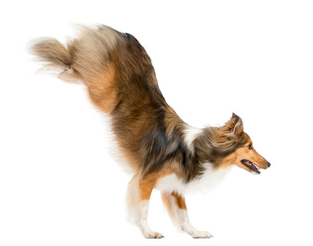 Shetland sheepdog jumping in front of a white background picture id510057404?b=1&k=6&m=510057404&s=612x612&w=0&h=hj2qxxv630waukjg 1hv47n3dsc0le atjblzvfhgo0=