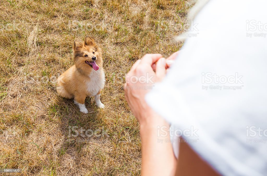 shetland sheepdog looks to human hands royalty-free stock photo
