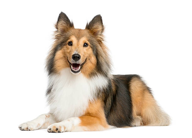 Shetland sheepdog lying in front of a white background picture id509092076?b=1&k=6&m=509092076&s=612x612&w=0&h=vfmqewibyveavukafo akzzc14vyetyisrvroonx0q4=