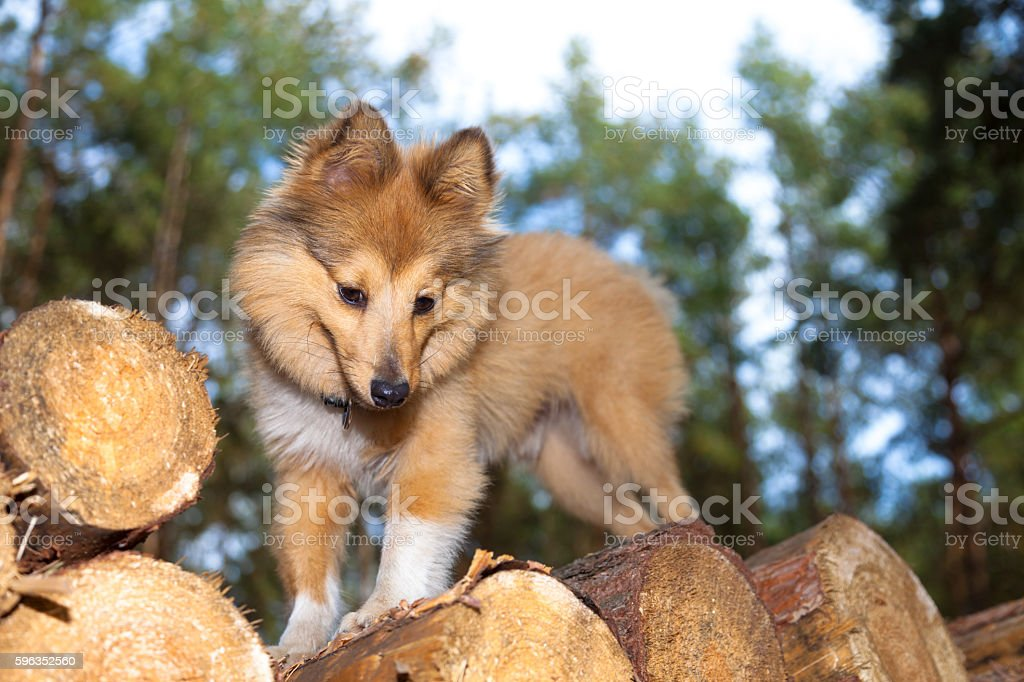 shetland sheepdog on logs royalty-free stock photo