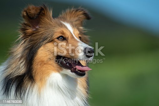 Shetland Sheepdog Portrait in the Nature