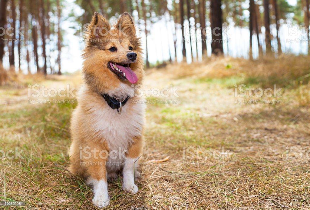 shetland sheepdog sits in a forest Lizenzfreies stock-foto