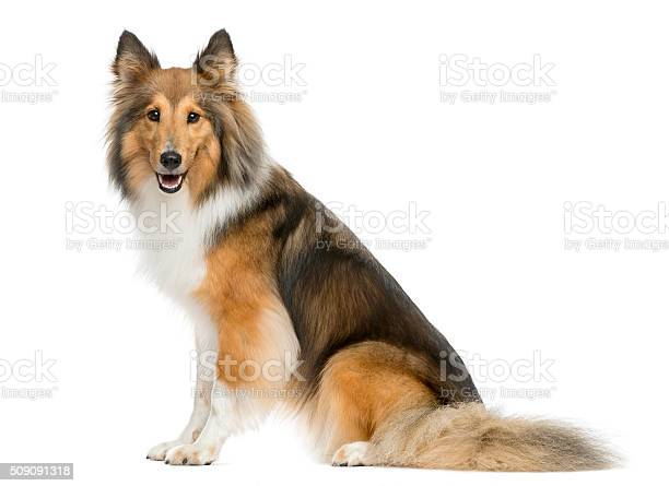 Shetland sheepdog sitting in front of a white background picture id509091318?b=1&k=6&m=509091318&s=612x612&h=fekgvtnxaxsljw542iy2wsbxpibnv3qufhwli nibbo=
