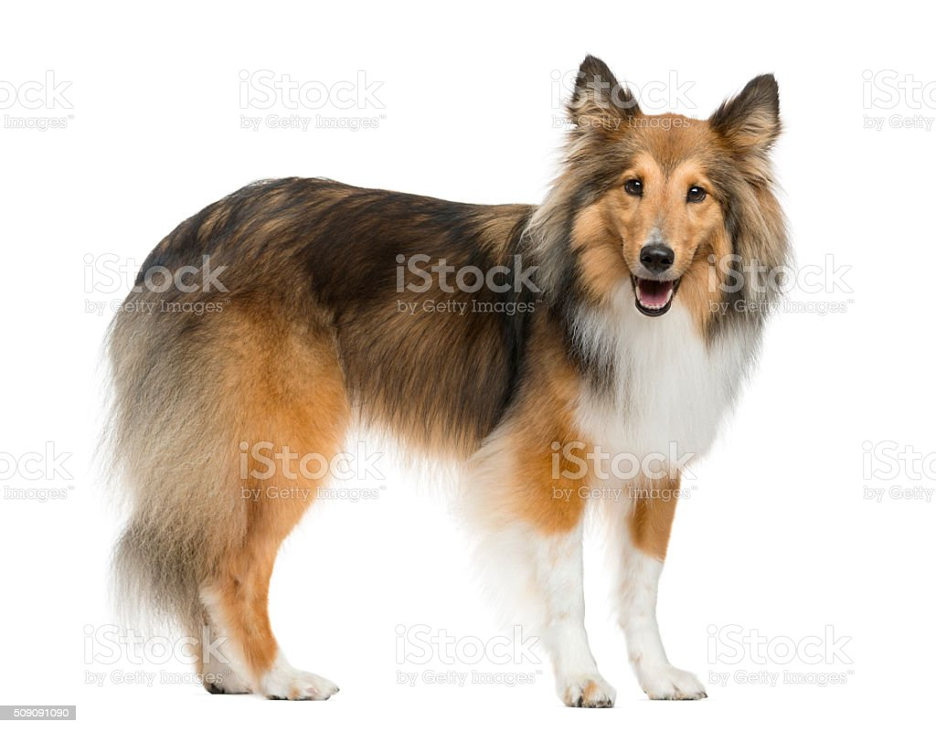 Shetland Sheepdog standing in front of a white background stock photo