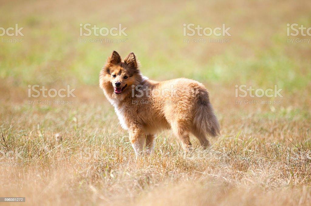 shetland sheepdog stands on a field Lizenzfreies stock-foto